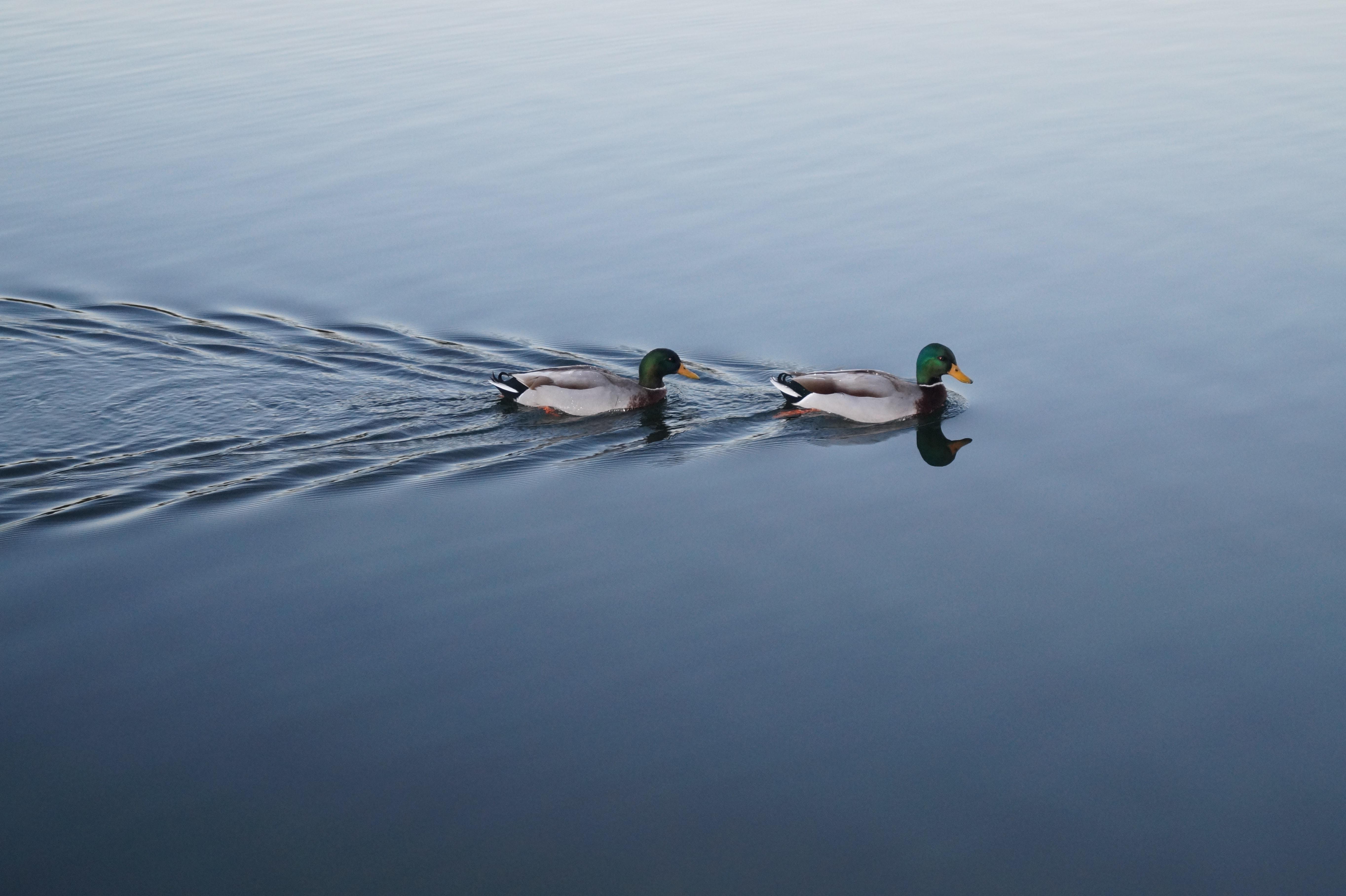 two male mallards swimming across calm water